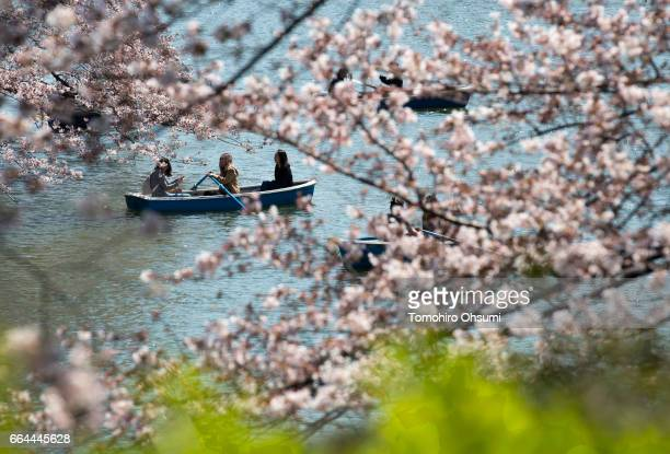 People ride a row boat near cherry trees in bloom at the Chidorigafuchi moat on April 4 2017 in Tokyo Japan Japan's cherry blossom season is reaching...