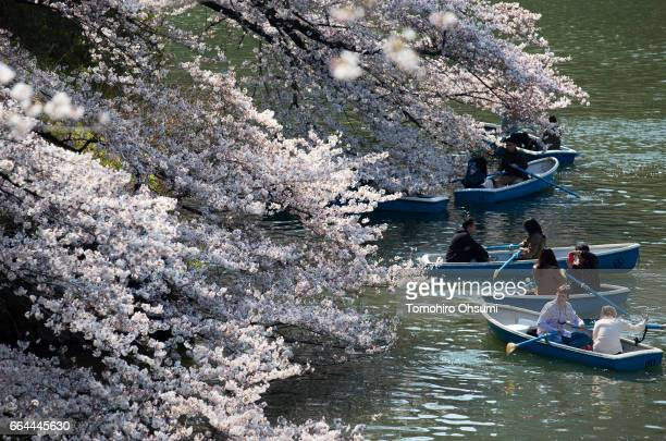 People ride row boats near cherry trees in bloom at the Chidorigafuchi moat on April 4 2017 in Tokyo Japan Japan's cherry blossom season is reaching...