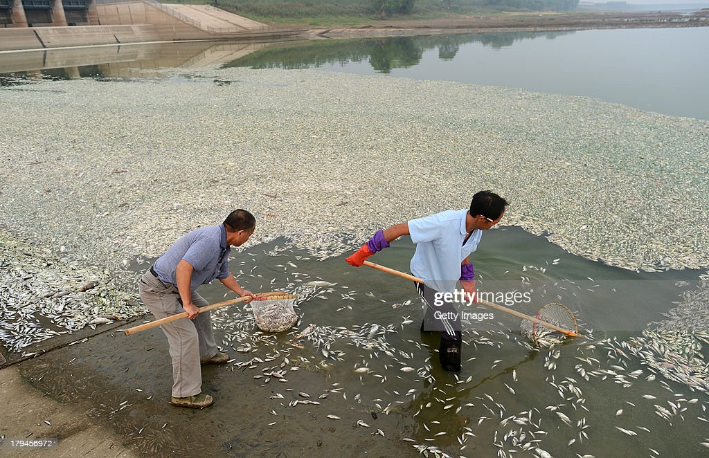 People salvage dead fish in a river on September 3, 2013 in Wuhan, Hubei province of China. About 40 kilometers of Fuhe River was covered with dead fish and most of them are 40 to 50 cm long. It was reported that the incident was caused by excessive ammonia nitrogen density.