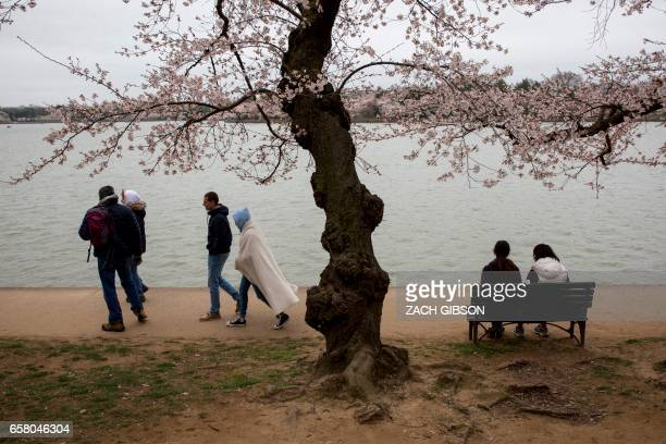 People sit near the Tidal Basin as cherry blossoms bloom on March 26 2017 in Washington DC / AFP PHOTO / ZACH GIBSON