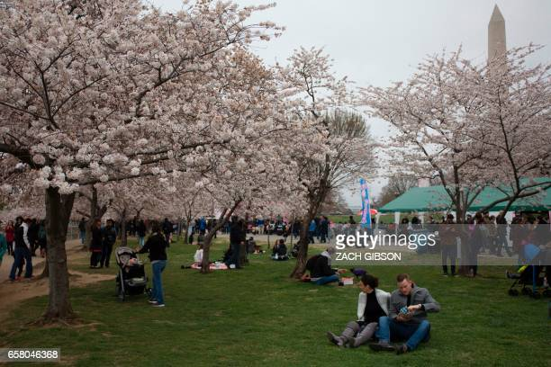 People sit near the Tidal Basin as Cherry Blossoms bloom on March 26 in Washington DC / AFP PHOTO / ZACH GIBSON