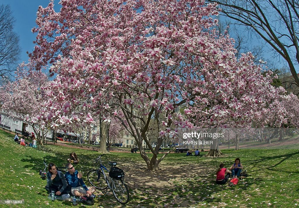 People sit under a blooming magnolia tree on a warm Spring day in Lafayette Park April 9, 2013 in Washington, DC. Warmer daytime temperatures have finally coaxed the trees into blooming. AFP PHOTO/Karen BLEIER