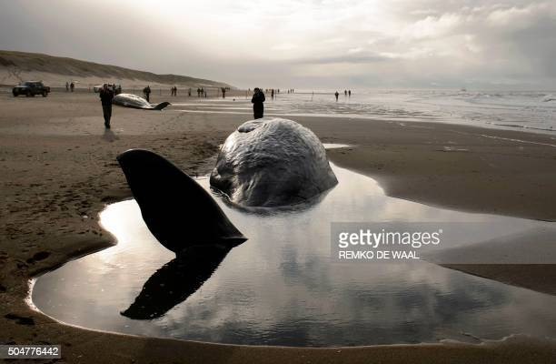 TOPSHOT People stand near beached sperm whales on January 13 after they became stranded on the Dutch island of Texel the day before Five sperm whales...