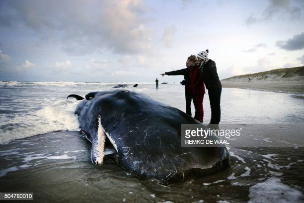 TOPSHOT People stand next to a beached sperm whale on the Dutch island of Texel on January 13 2016 Five sperm whales died after being stranded on the...