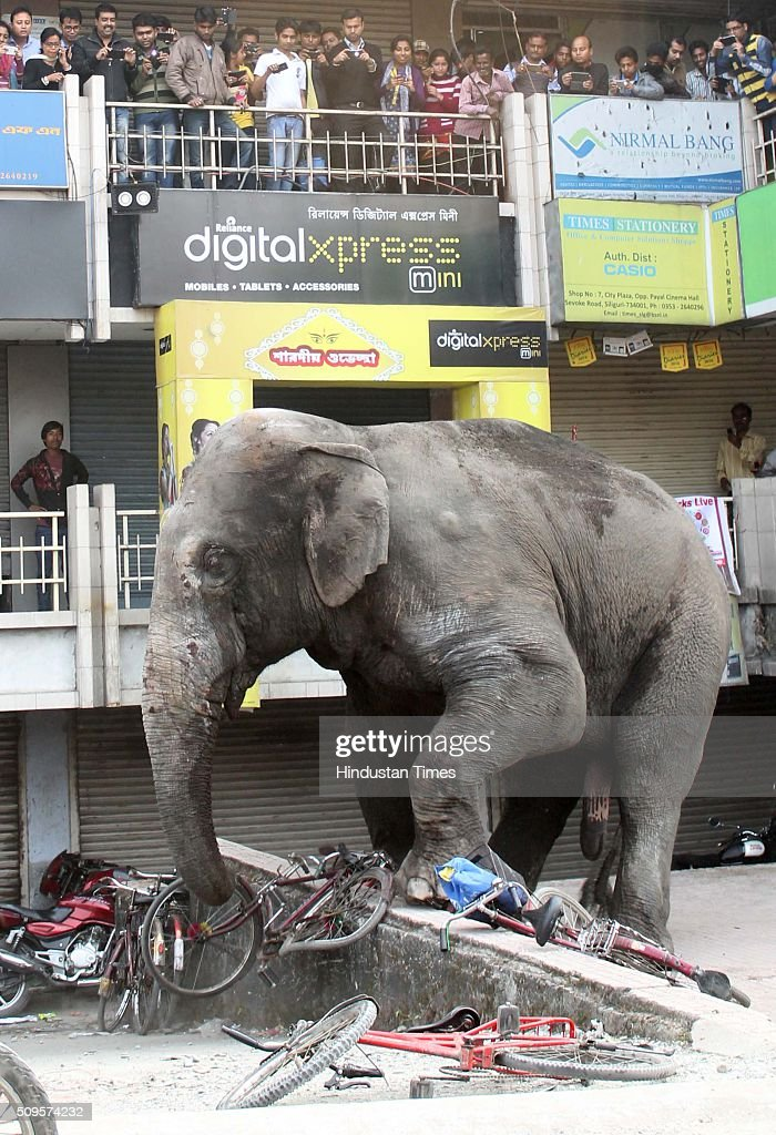People stand on balconies to watch a wild elephant running amok the vehicles at a market after it was tranquilised by wildlife officials on February 10, 2016 in Siliguri, India. A wild elephant had wandered from the Baikunthapur forest in Siliguri, West Bengal, crossing roads and a small river before entering the town. The panicked elephant ran amok, trampling parked cars and motorbikes before it was tranquilised.