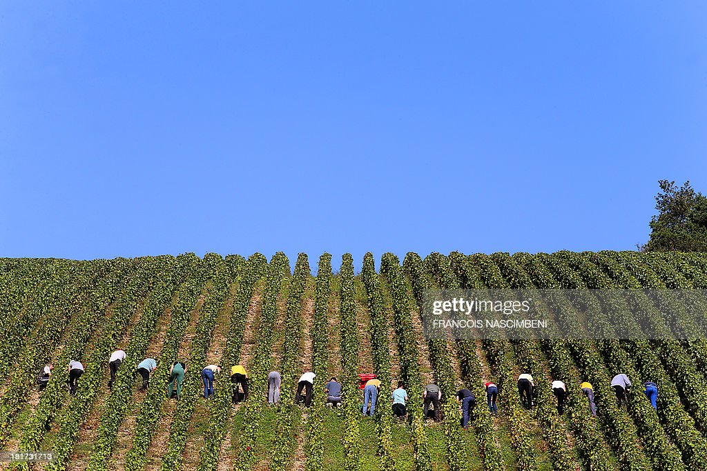 People take part in the grape harvest for the Champagne house Koza-Janot, on September 24, 2013 in Buxeuil. AFP PHOTO / FRANCOIS NASCIMBENI
