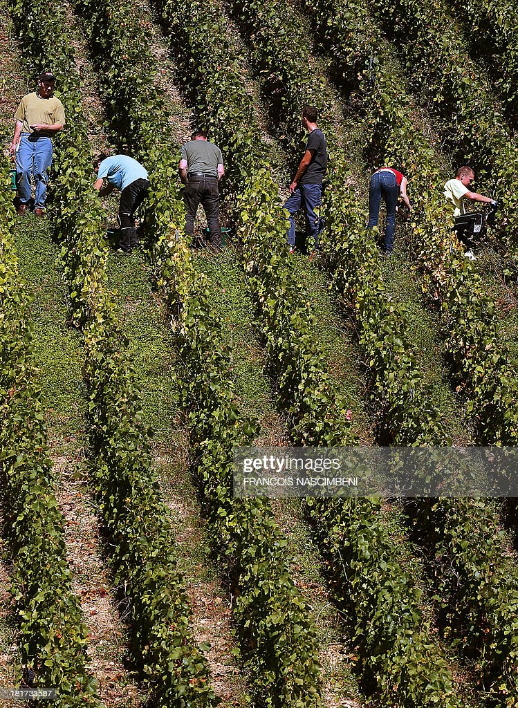 People take part in the grape harvest for the Champagne house Koza-Janot, on September 24, 2013 in Buxeuil.
