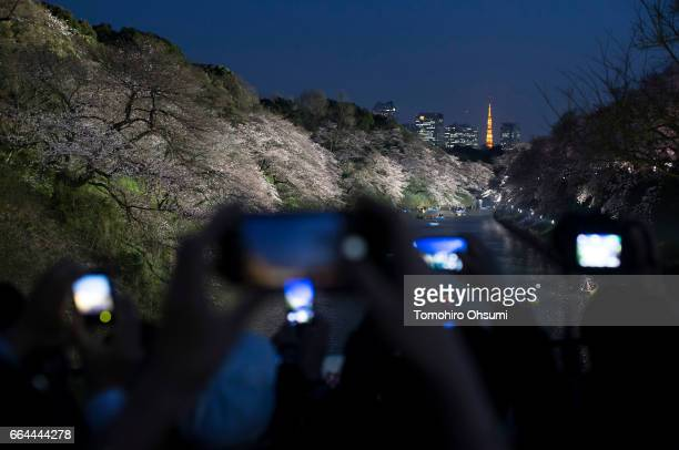 People take photographs of cherry trees in bloom as the Tokyo Tower stands illuminated at night at the Chidorigafuchi moat on April 4 2017 in Tokyo...
