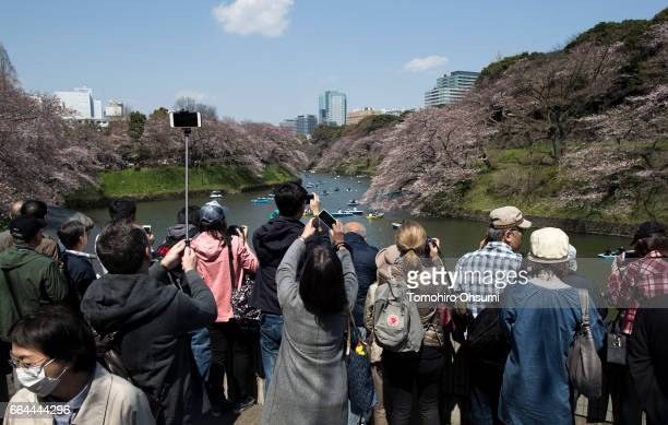 People take photographs of cherry trees in bloom at the Chidorigafuchi moat on April 4 2017 in Tokyo Japan Japan's cherry blossom season is reaching...