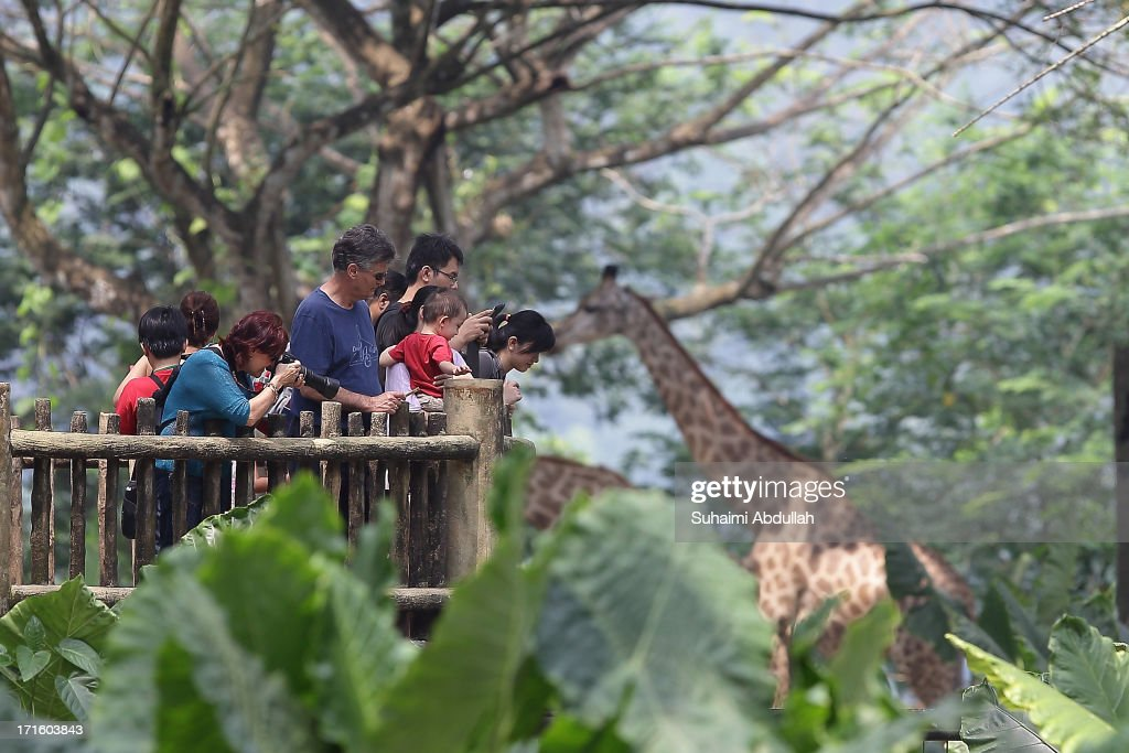 People take photos of the giraffes at the Singapore Zoo on June 27 2013 in Singapore Home to more than 2800 animal specimens from over 300 species...