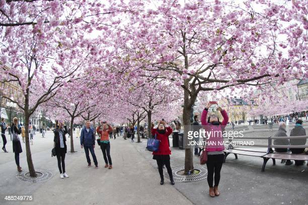 People take pictures of cherry trees in full blossom at Kungstradgarden in Central Stockholm on April 17 2014 AFP PHOTO/JONATHAN NACKSTRAND