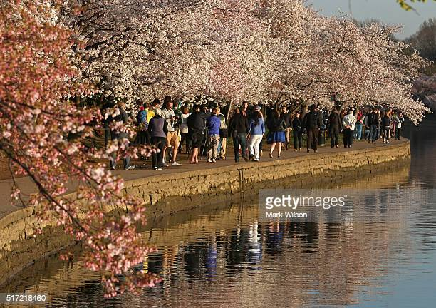 People tour the Tidal Basin where the Cherry Blossoms are blooming March 24 2016 in Washington DC The National Park Service has predicted that most...
