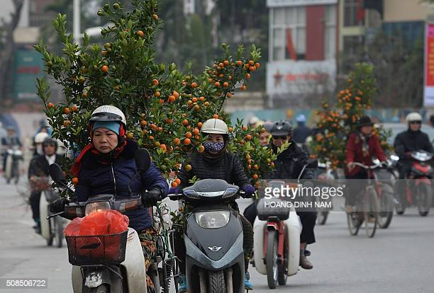 People transport kumquat trees for the Lunar New Year on a road leading to the center of Hanoi on February 5 2016 as Vietnamese prepare to celebrate...