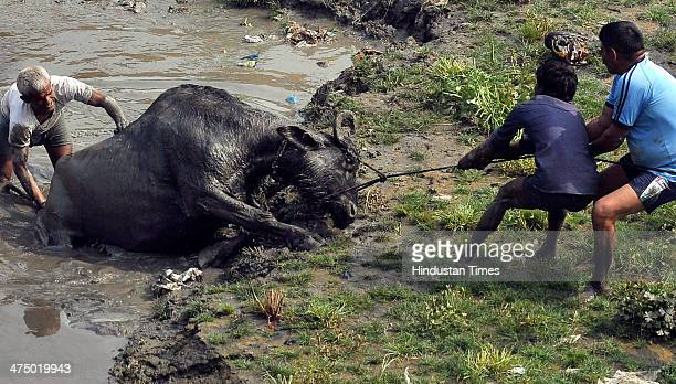 People trying to rescue a domestic buffalo that was trapped for hours on the banks of river Yamuna in a marsh land near Kalandi Kunj on February 26...
