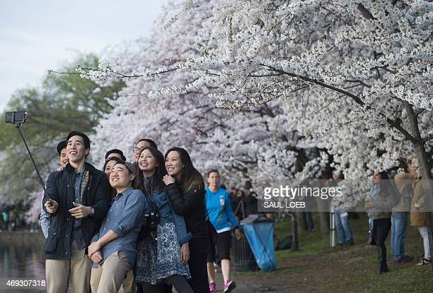 People use a 'selfie stick' as they photograph themselves in front of cherry trees as they blossom around the Tidal Basin on the National Mall in...