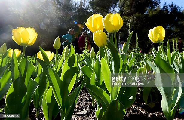 People view the tulips at the Descano Gardens in La Canada Flintridge California on March 2 where blooming Spring flowers are on display at the...