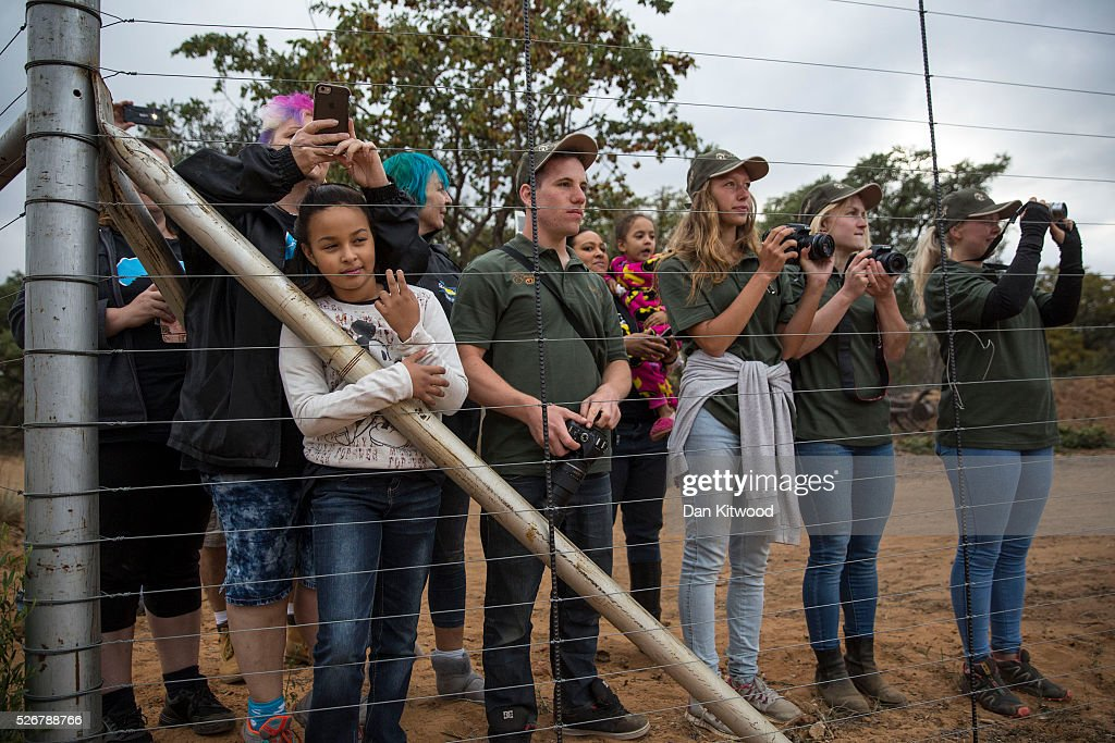 People wait to greet the arrival of two lorries carrying 33 Lions to a private reserve, on May 01, 2016 in Vaalwater, South Africa. A total of 33 former circus Lions, 22 males and 11 females from Peru and Columbia were airlifted to South Africa yesterday, before being released today to live out their lives on the private reserve in the Limpopo Province. 24 of the animals were rescued in raids on circuses operating in Peru, with the rest voluntarily surrendered by a circus in Colombia after Colombias Congress passed a bill prohibiting circuses from using wild animals. The trip has been coordinated by the animal rights group 'Animal Defenders International. The animals have been released into small open areas with natural vegitation, something that many of the animals have never experienced before.