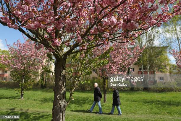 People walk among blossoming cherry trees on April 20 2017 in Berlin Germany Farmers are concerned that a recent cold snap that brought snow flurries...