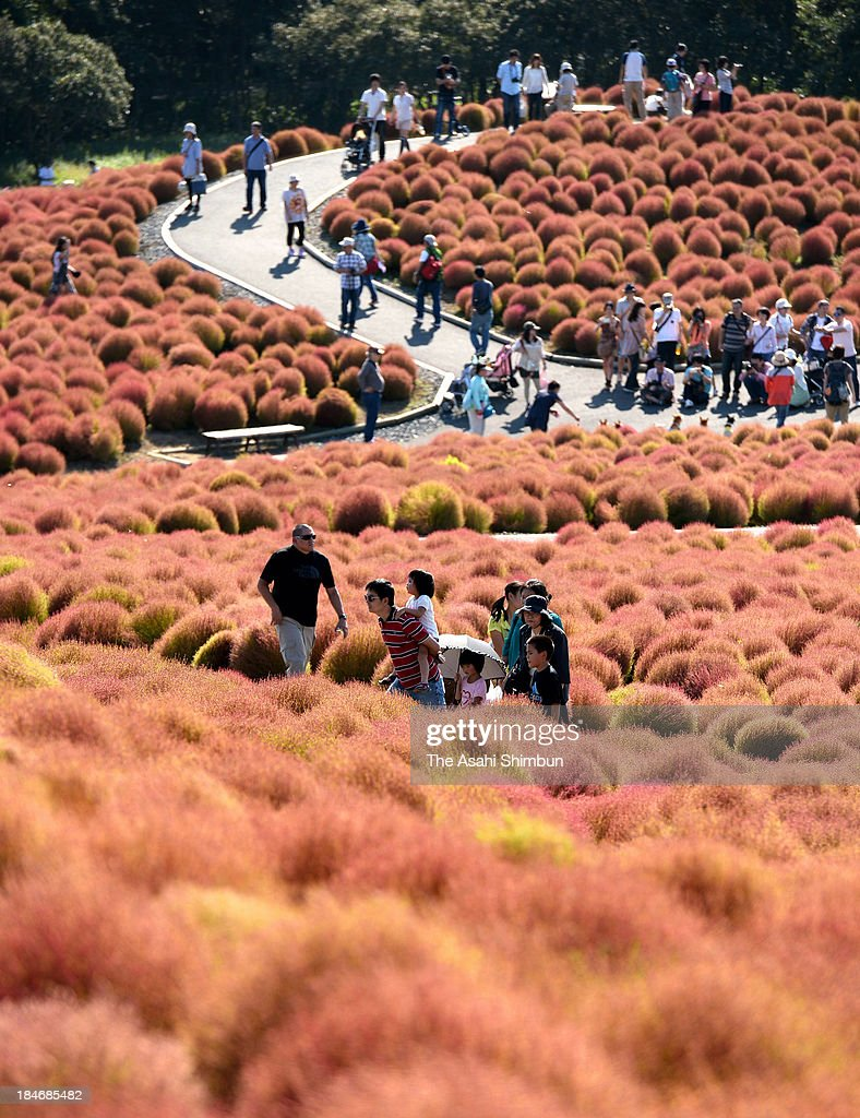 People walk among coloured Kochia field at Hitachi Kaihin Park on October 12, 2013 in Hitachinaka, Ibaraki Japan.