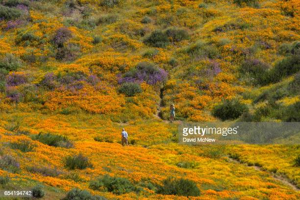 People walk among flowers after prolonged record drought gave way to heavy winter rains causing one of the biggest wildflower blooms in years on...