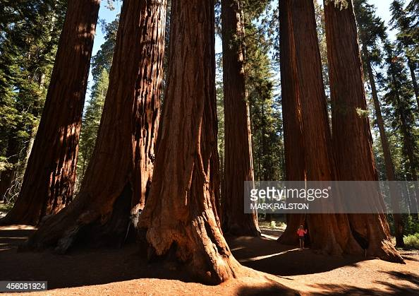 People walk amongst giant Sequoia trees at the Sequoia National Park which scientists claim are under threat from a diminishing snowpack and rising...