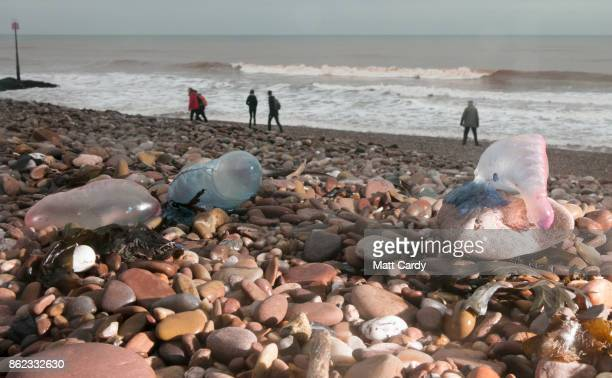 People walk besides Jellyfish that have been washed up on Sidmouth beach by yesterday's exhurricane Ophelia in Sidmouth on October 17 2017 in Devon...