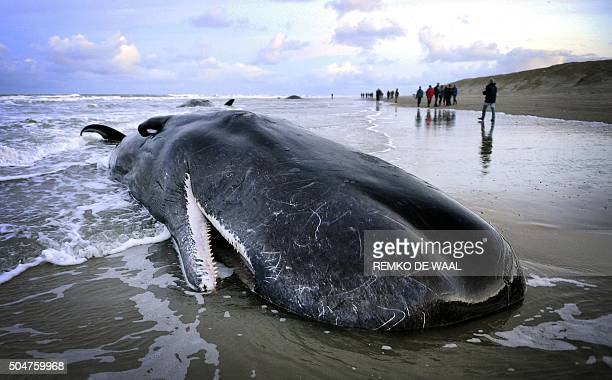 People walk near a beached sperm whale on the Dutch island of Texel on January 13 2016 Five sperm whales died after being stranded on the beach OUT...