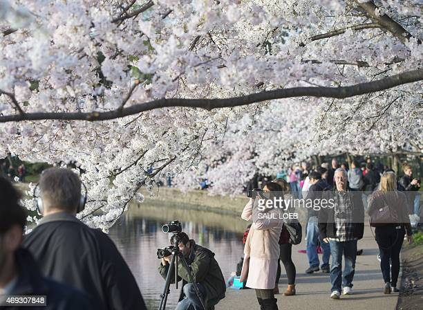 People walk past cherry trees as they blossom around the Tidal Basin on the National Mall in Washington DC April 11 2015 The cherry blossoms...