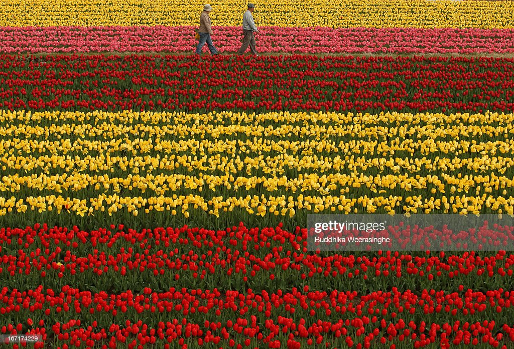 People walk through a tulip field in full bloom at the Tanto Tulip Festival on April 22, 2013 in Toyooka, Hyogo, Japan. Hundreds of thousands of tulips in three hundred varieties are displayed at the popular Spring flower festival at Tanto Tulip field in Hyogo Prefecture.
