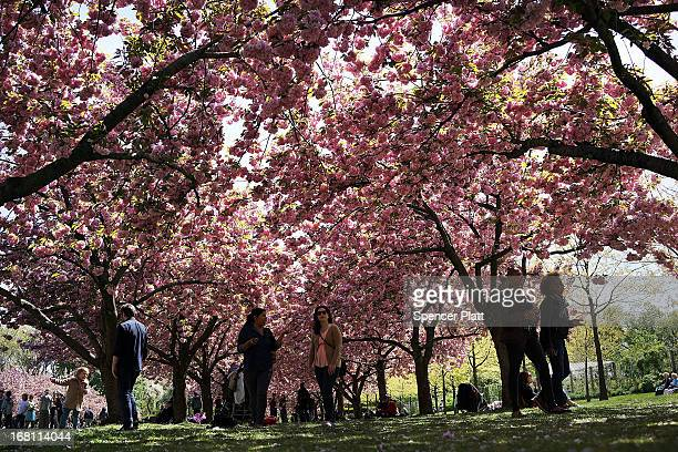 People walk under cherry blossom trees at the Brooklyn Botanical Garden on May 5 2013 in New York City The botanical garden which sits on 52acres...