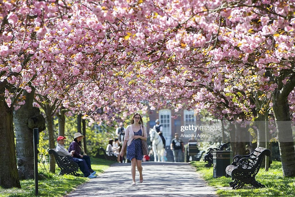 People walk under fully bloomed cherry blossom trees at Greenwich Park in London England as temperature hits 17 C on April 21 2015