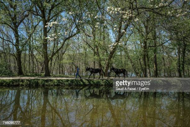 People Walking With Horses By Pond Against Trees At Forest