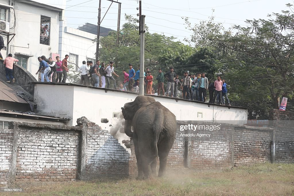 People watch a wild elephant that strayed into the town after authorities shot it with a tranquilizer gun at Siliguri in West Bengal state, India, on February 10, 2016. A full-grown wild elephant went on a rampage through a West Bengal town on Wednesday, damaging up to 100 houses before eventually being subdued with tranquilliser guns.
