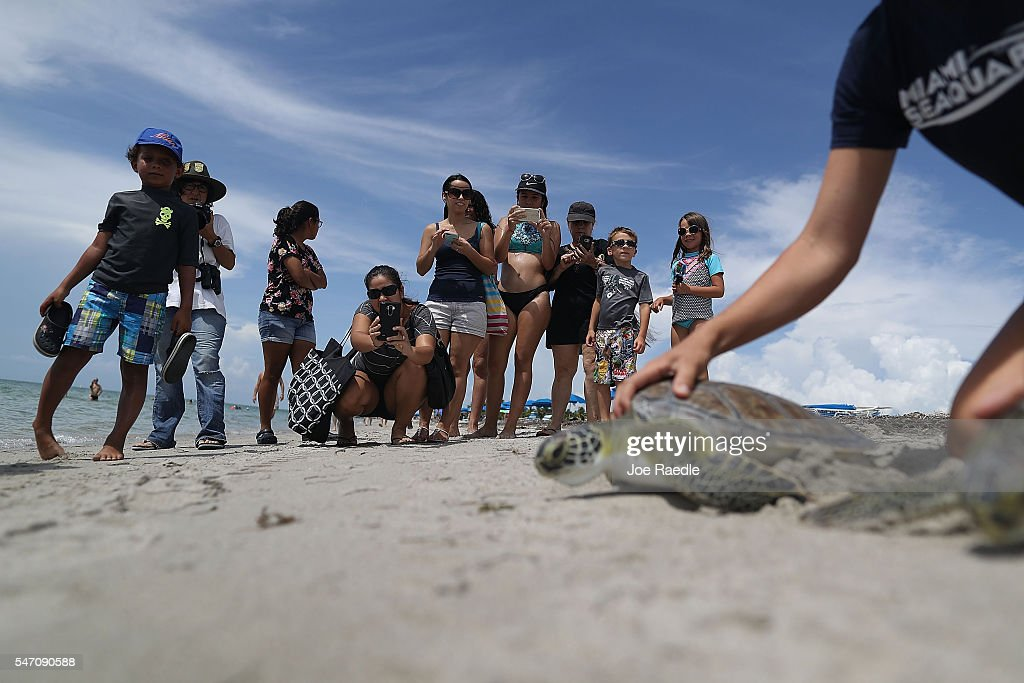 People watch as two of five rehabilitated juvenile green sea turtles are released into the Florida waters by Miami Seaquarium animal care personnel...