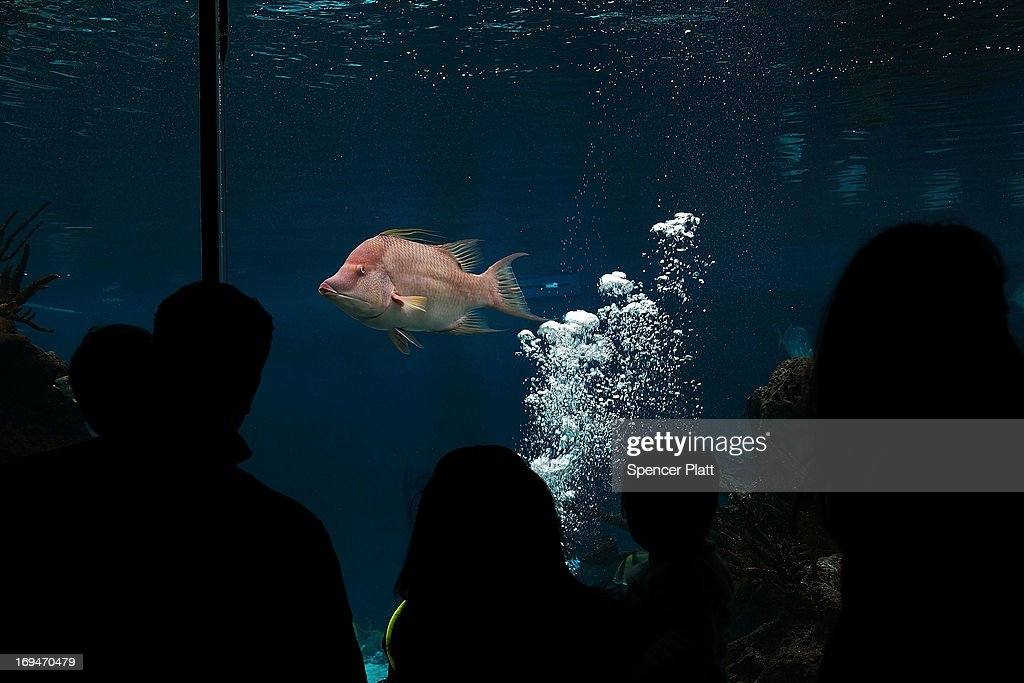 People watch exotic fish on the first day of the re-opening to the public of the Wildlife Conservation Society New York Aquarium in Coney Island on May 25, 2013 in the Brooklyn borough of New York City. The aquarium was heavily damaged by Hurricane Sandy and reopens a day after city beaches re-open to the public. More than 90 percent of the aquarium's sea life survived the storm.