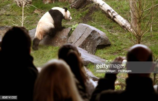 People watch Tian Tian the panda in its enclosure at Edinburgh Zoo as members of the public are let in for the first time to see the animalsPicture...