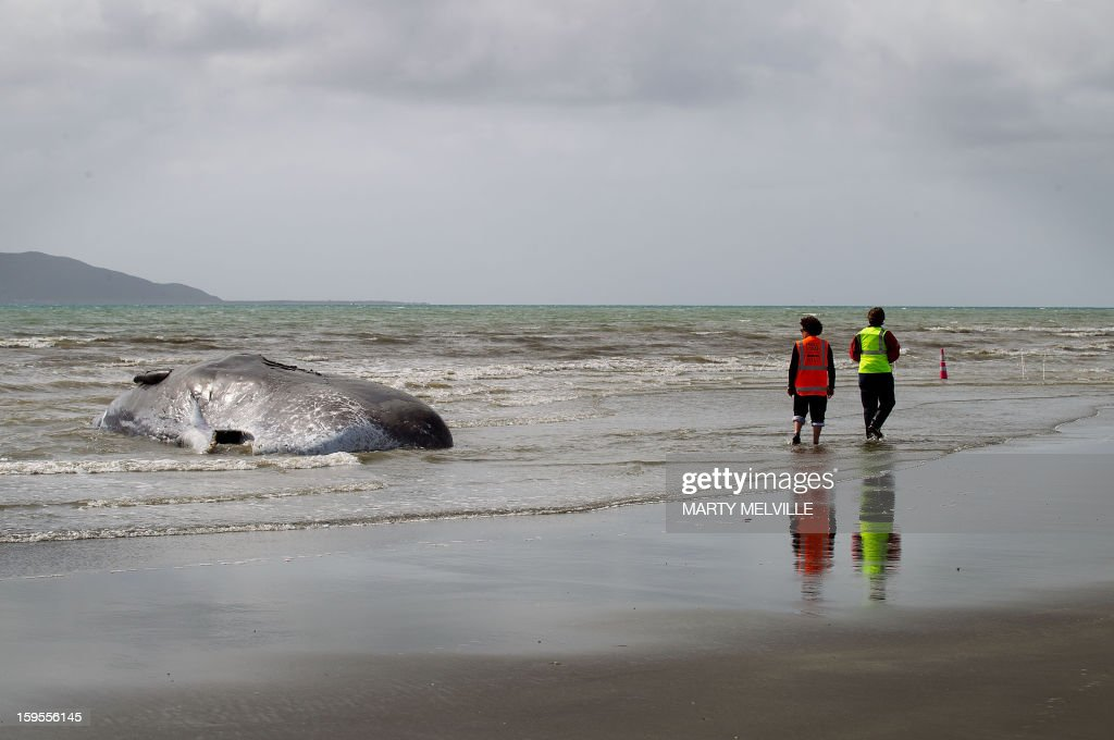 People wearing high visibility clothing walk past the dead body of a 15 metre sperm whale (L) lies on a Paraparaumu beach on the Kapiti Coast on January 16, 2013. Hundreds of people gathered to see the whale which was washed up on the beach overnight after it died. AFP PHOTO / MARTY MELVILLE