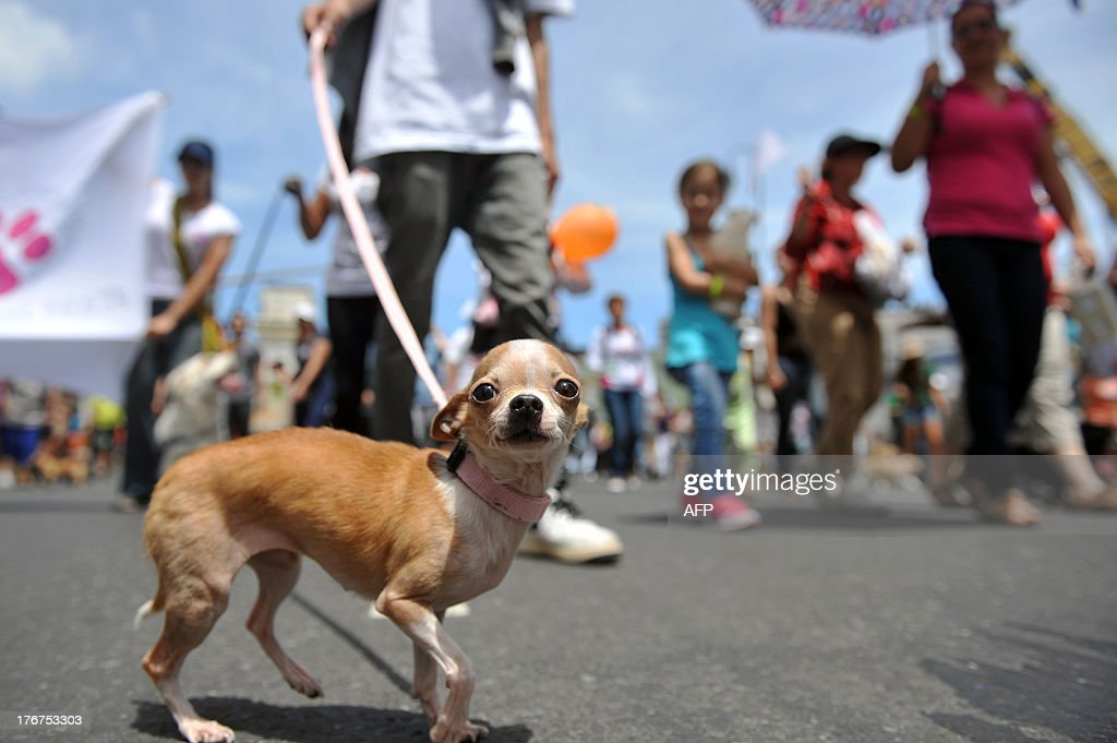 People with their pets participate in a parade in support of a bill penalizing cruelty against domestic and wild animals waiting to be discussed by the Legislative Assembly, in San Jose, on August 18, 2013. AFP PHOTO/Hector RETAMAL