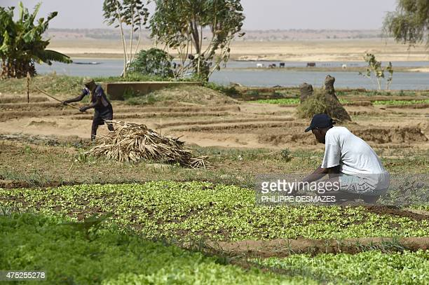 People work at a vegetable garden near the banks of the Niger river in Gao northern Mali on May 30 2015 The French army paid for a water pump for the...
