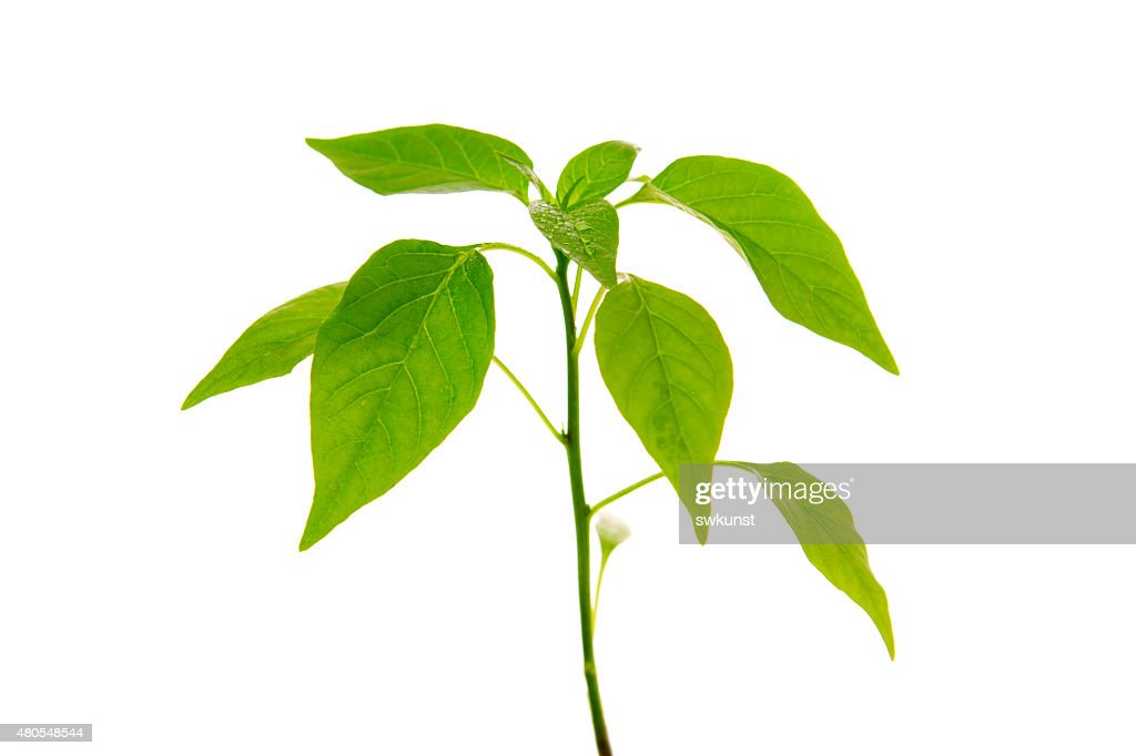 Pepper plant isolated . : Stock Photo