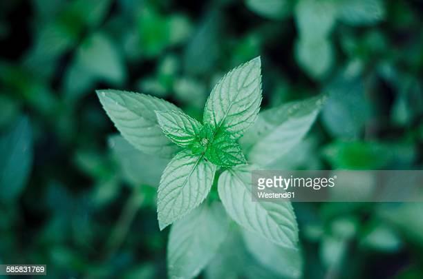 Peppermint, Mentha piperita, in garden, close-up