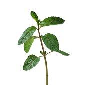 Peppermint Mentha x piperita