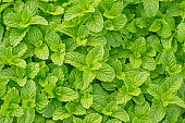 Mint flavoring as well as cooking and herbal medicine to reduce fever, pungent odor to the breath fresh.