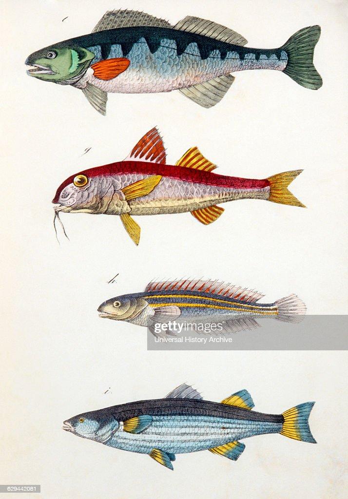 Perch Fish Diagram - Wiring Diagrams Schematics