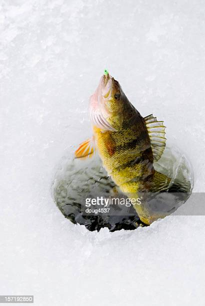 Perch Being Caught Through Ice