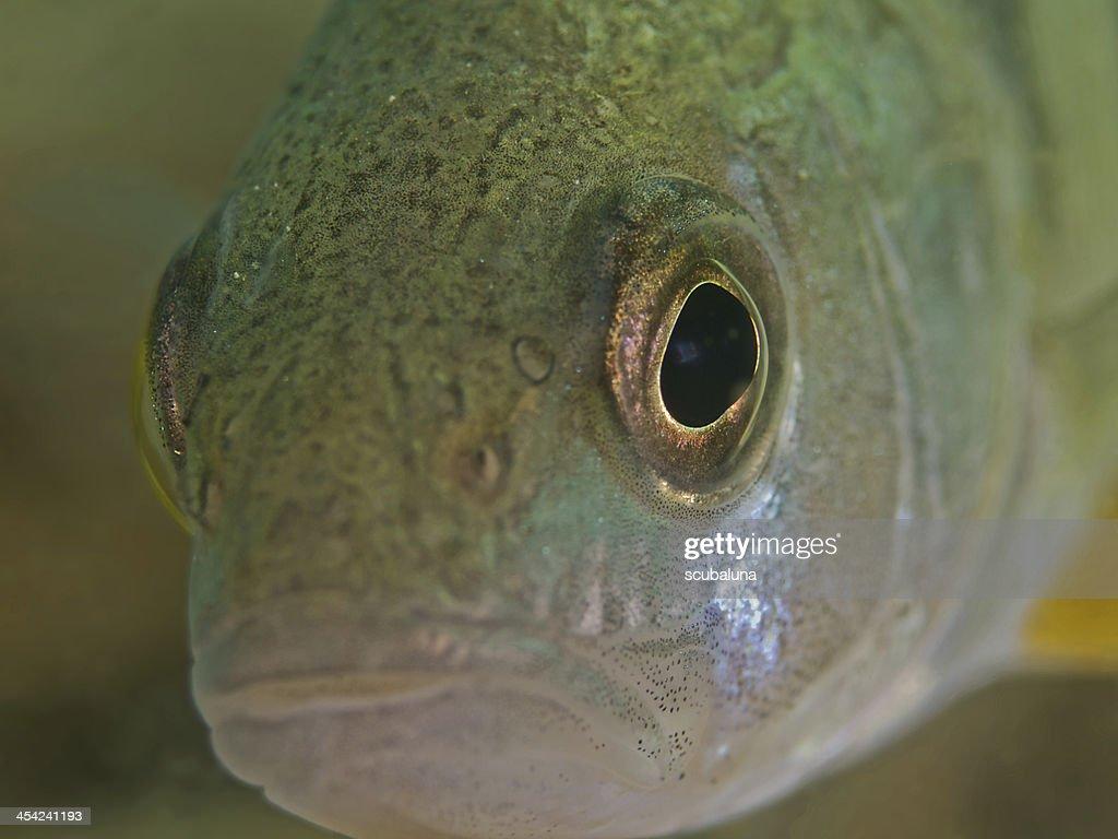 Perch Portrait (Perca fluviatilis) : Stock Photo