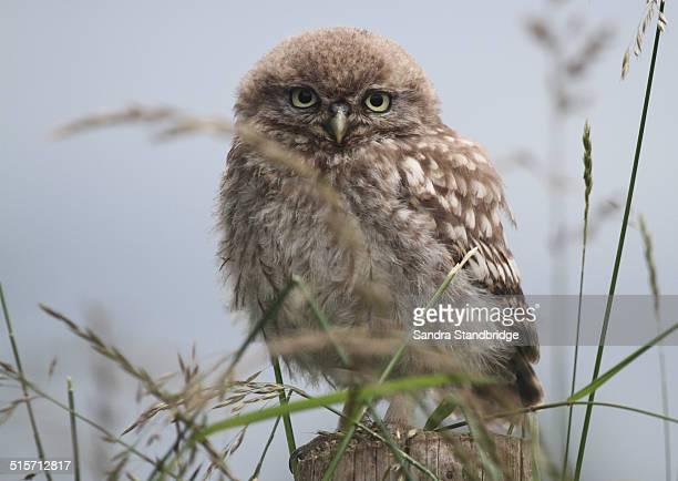 Perched baby Little Owl