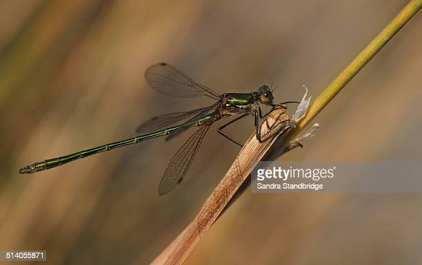 Perched Emerald Damselfly in golden light.