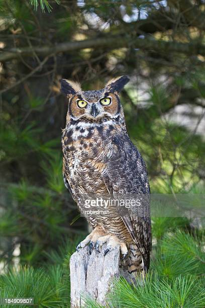 Perched great horned owl with tree branches in background