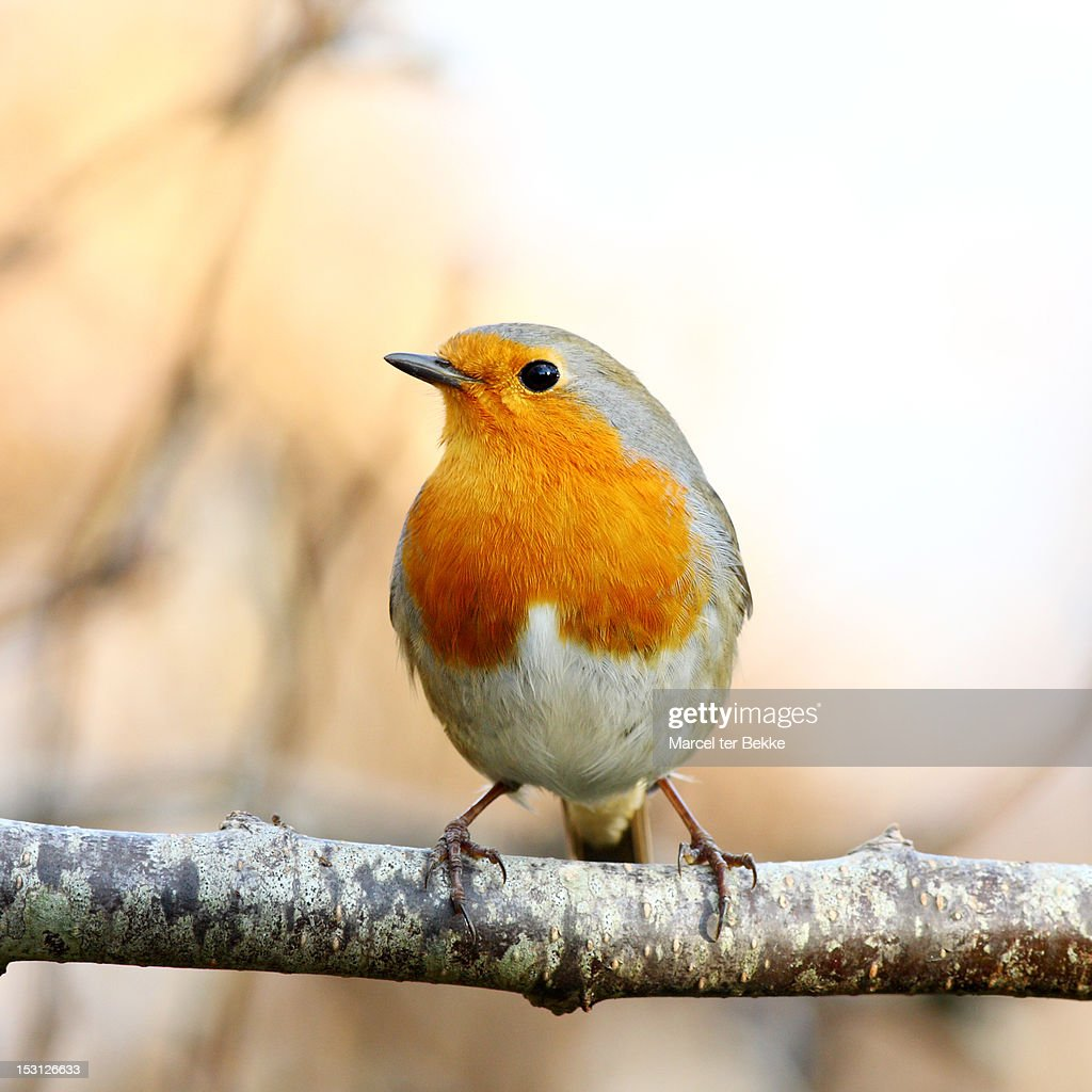 Perching robin